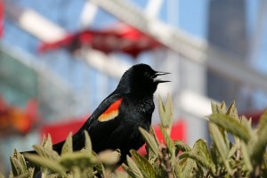 red-winged-blackbird-753604_640